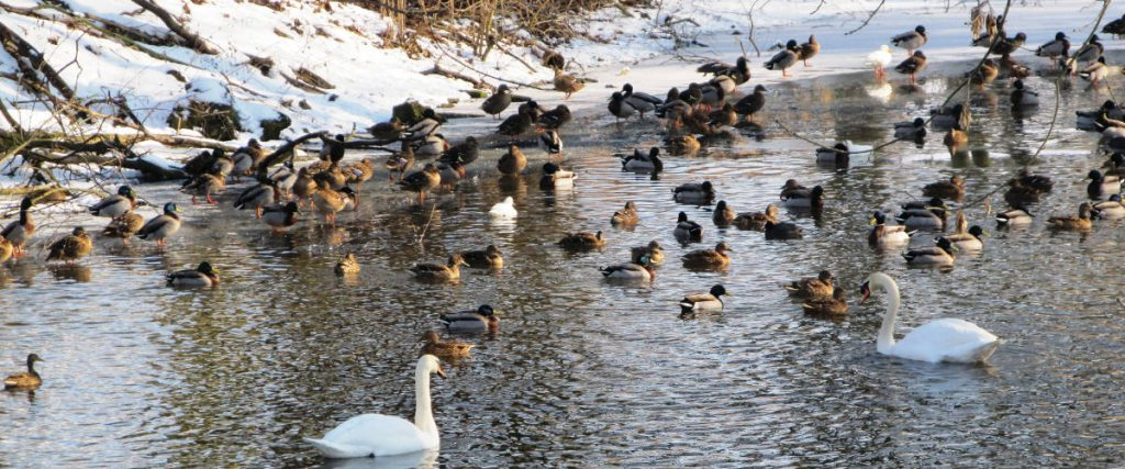 Ducks and Geese on a lake in Hertfordshire